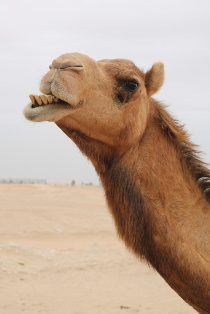 camels-4-1334521-1280x1920